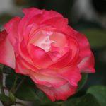 人気のバラの品種ニューウェーブの育て方について