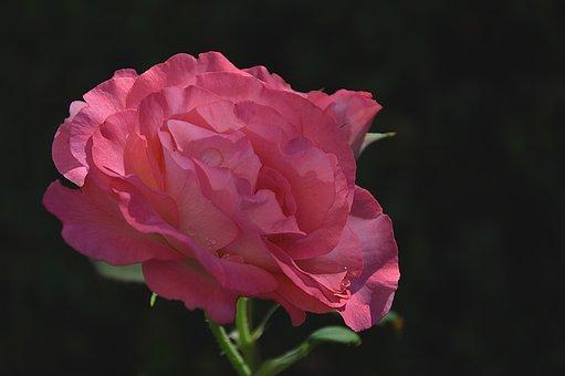 バラ 切り花 日持ち