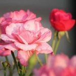 バラの品種「ブルームーン」ってどんな花!?花言葉は?