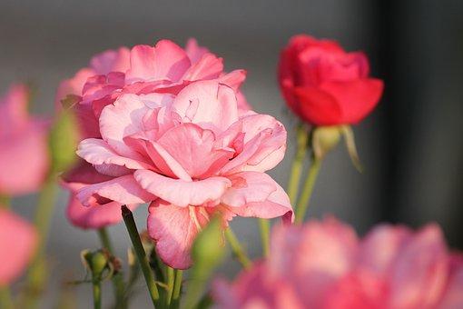 バラ ブルームーン 花言葉