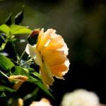バラの花の開花・見頃の時期はいつ!?