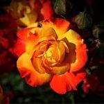 絞り模様の薔薇の品種一覧をご紹介!