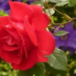 バラの新苗からってどうやって育てたらよい?