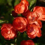 バラの種類ブルームーンの育て方について