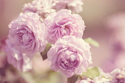 バラ カップ咲き 品種