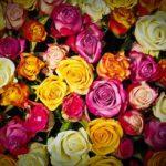 夏の暑さからバラを守ろう!夏のバラの水やりと剪定方法