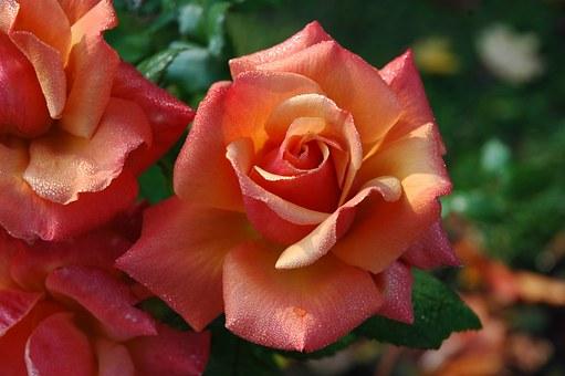 薔薇 ルシファー 花言葉