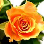 薫乃ってバラの品種?どんな特徴がある?