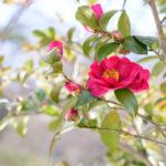 サザンカのピンクの種類をご紹介!