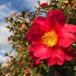 サザンカの色別の花言葉の意味について