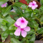 ニチニチソウの花壇での育て方。植える感覚は!?