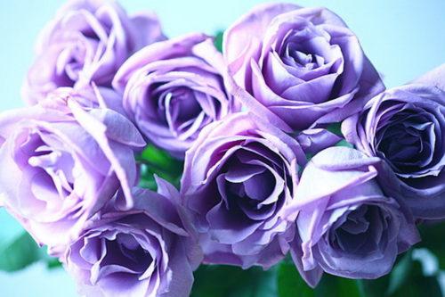 薔薇 日本 原種