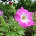 八重咲きペチュニアの種類をご紹介!