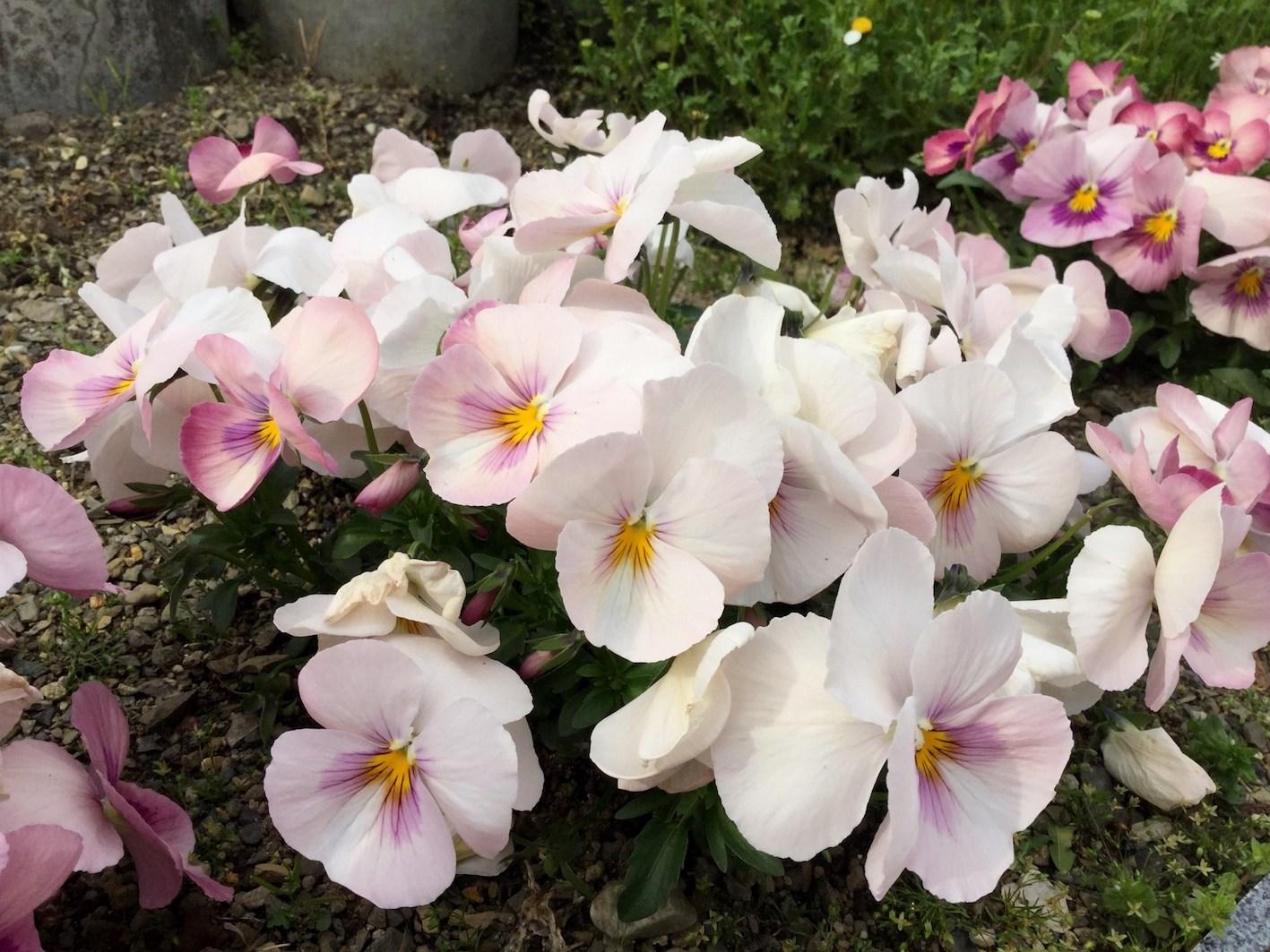 パンジー ピンク 品種