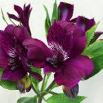 アルストロメリアの花の英語の読み方は?発音やつづり(スペル)は?