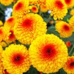 菊の育て方。植え替え方法や時期はいつ!?