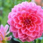 花の「ダリア」「ダリヤ」どっちが正しい言い方なの!?