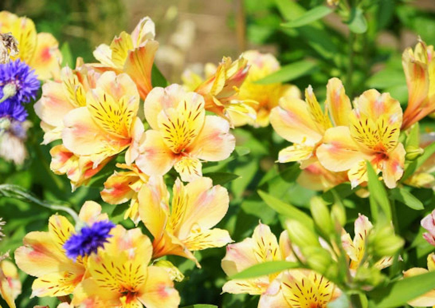 アルストロメリア 四季咲き 苗