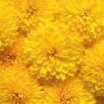 菊の冬至芽の摘心方法について