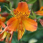 四季咲きアルストロメリアの育て方は?枯らさないコツとは?