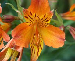 四季咲き アルストロメリア 育て方