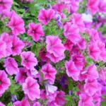 ペチュニアとの寄せ植えで相性がいい花は何!?