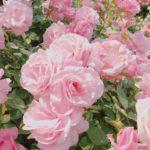 トゲが少ない薔薇の品種をご紹介します!