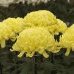 菊の病気!白さび病の治療方法について