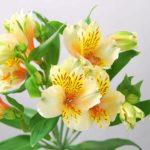 黄色の花を咲かせるアルストロメリアの品種はオライオン?特徴は?
