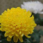 菊に発生する虫の種類や駆除方法について