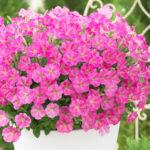 ペチュニアの花の開花時期はいつ頃!?