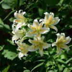 ユリの花につく害虫の駆除方法について