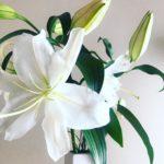 ユリの種類「カサブランカ」の育て方や植え方について
