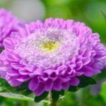 紫色の菊の品種一覧について