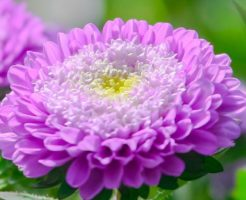 菊 品種 紫