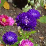 菊の種の採取方法や採取の時期について
