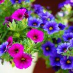 ペチュニアの紫色の品種について