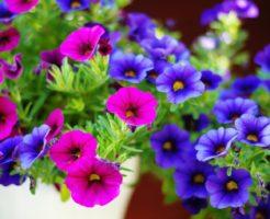 ペチュニア 紫 品種