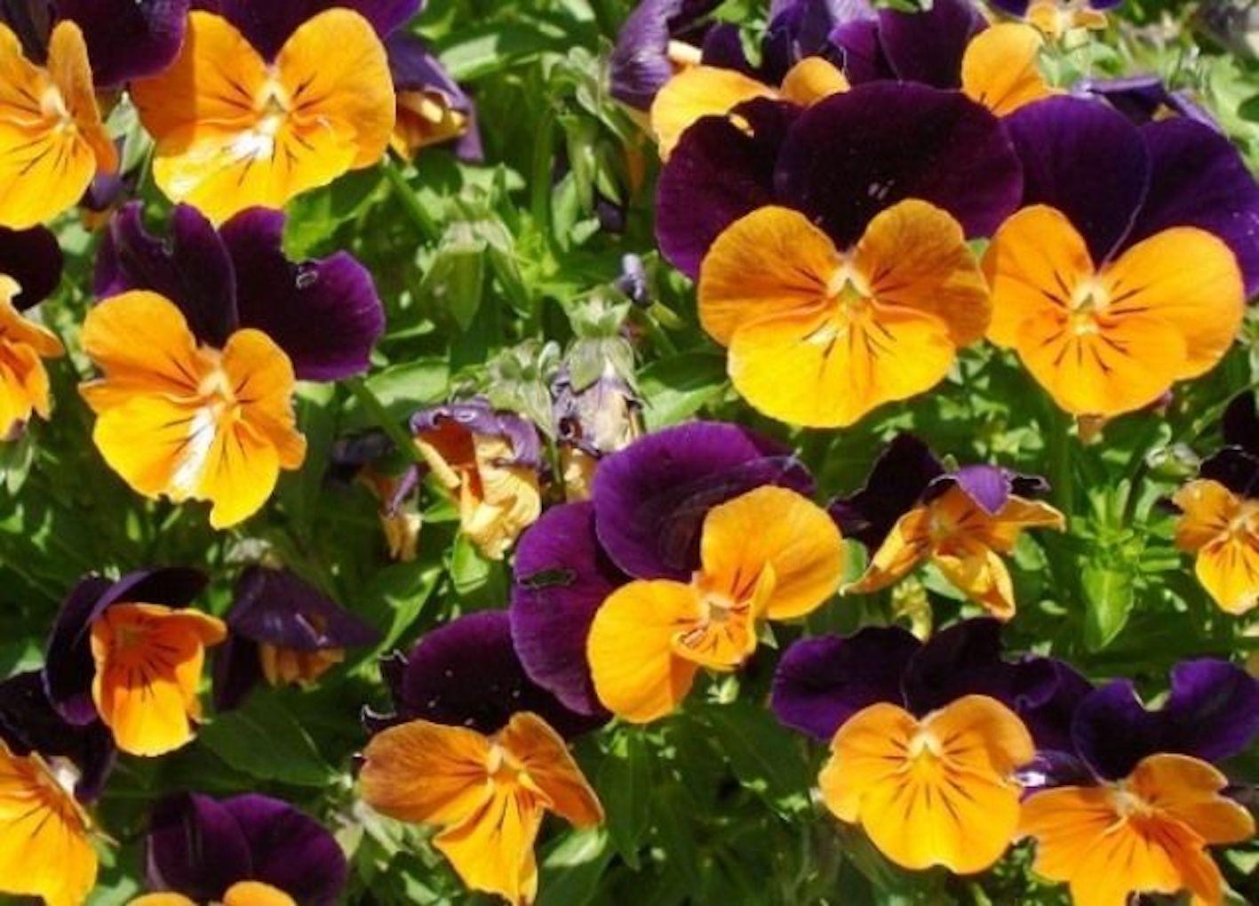 花がら摘み 方法 パンジー