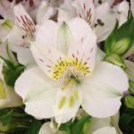 アルストロメリアの品種オルガは何色の花?特徴は?