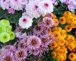 菊 鉢植え 育て方