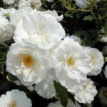 育てやすい!バラの品種アイスバーグの育て方について