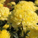 菊の葉っぱが茶色に変色する原因や対策法について