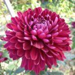 小さい菊の種類の名前は何て言うの!?