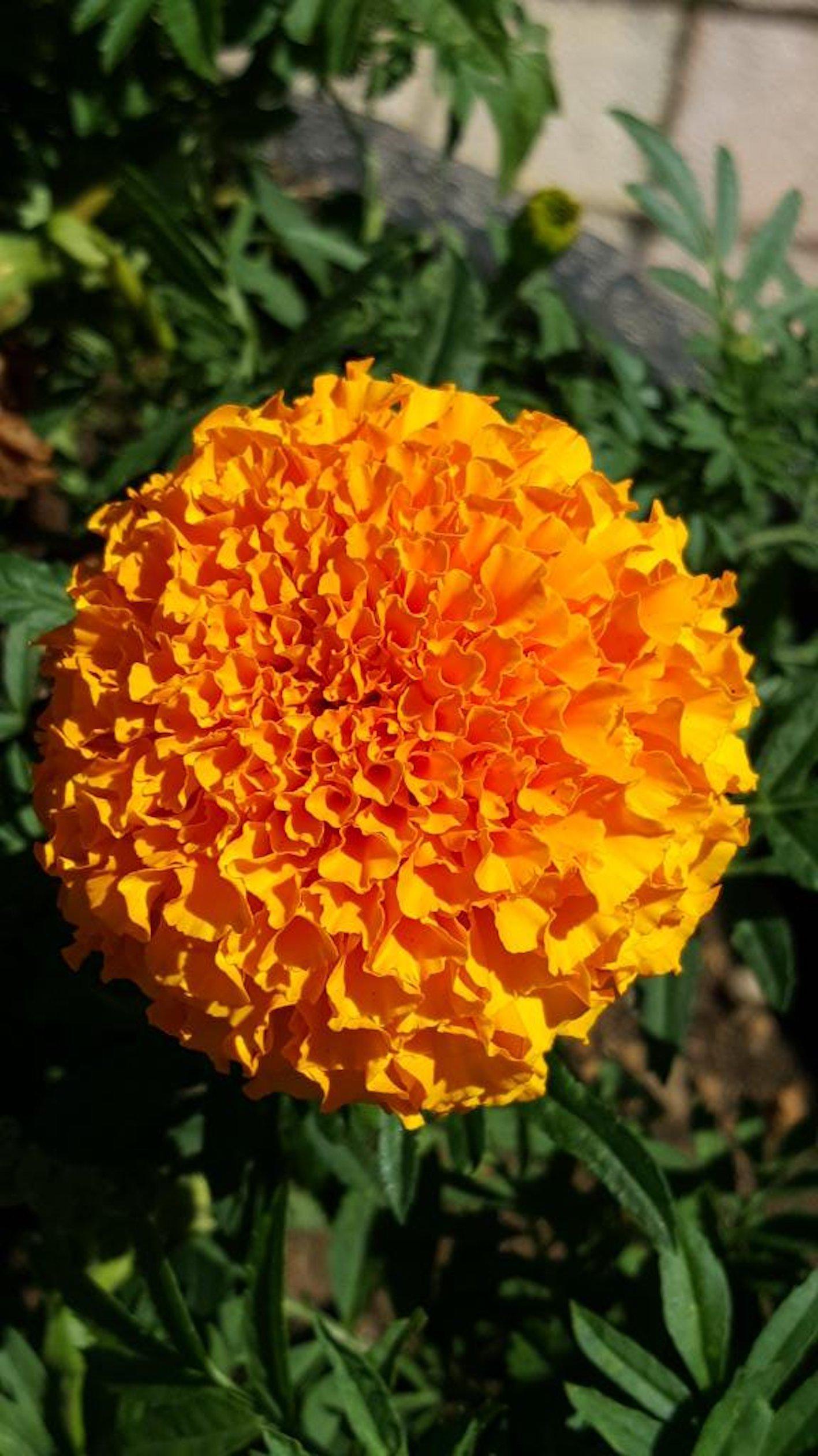 マリーゴールド 時期 開花