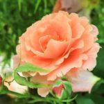 バラの種類ブリーズの上手な育て方