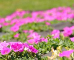 ガーデニング ペチュニア 寄せ植え