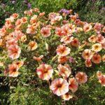 ペチュニアの花の英語での読み方や名前の由来とは!?