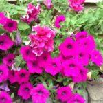 ペチュニアの改良種サフィニアってどんな種類の花なの!?