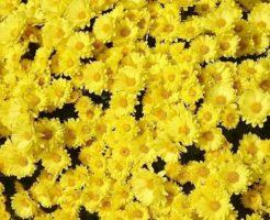 菊 種類 丸い